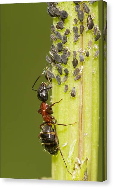 Honeydews Canvas Print - Ant Tending Aphids by Mircea Costina Photography