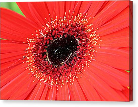 Ant That A Daisy Canvas Print by Sarah E Kohara