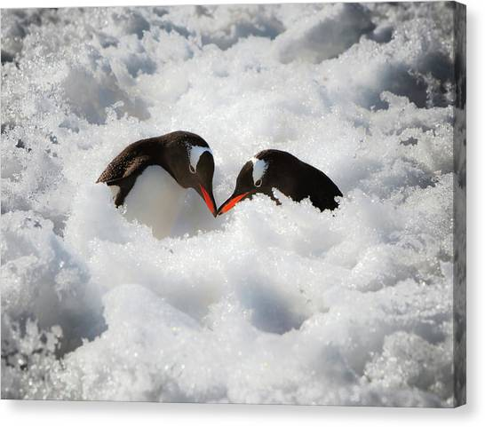 Antarctica Canvas Print - Antarctica A Pair Of Gentoo Penguins by Janet Muir