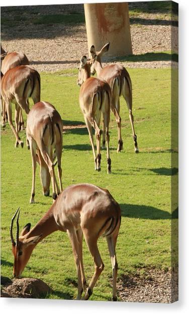 Antelopes Canvas Print by Tinjoe Mbugus