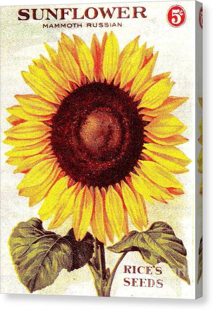 Antique Sunflower Seeds Pack Canvas Print