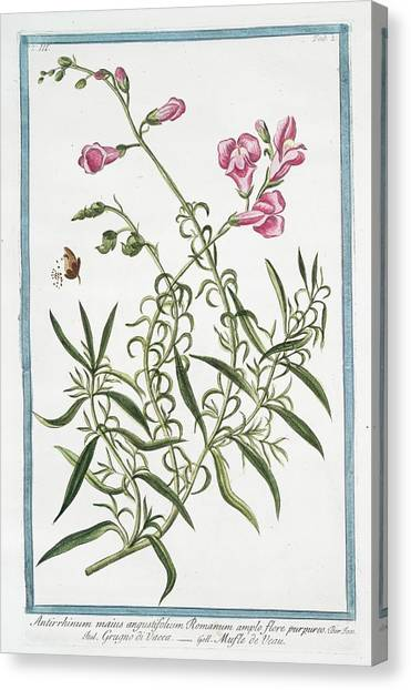 Snapdragons Canvas Print - Antirrhinum Majus by Rare Book Division/new York Public Library