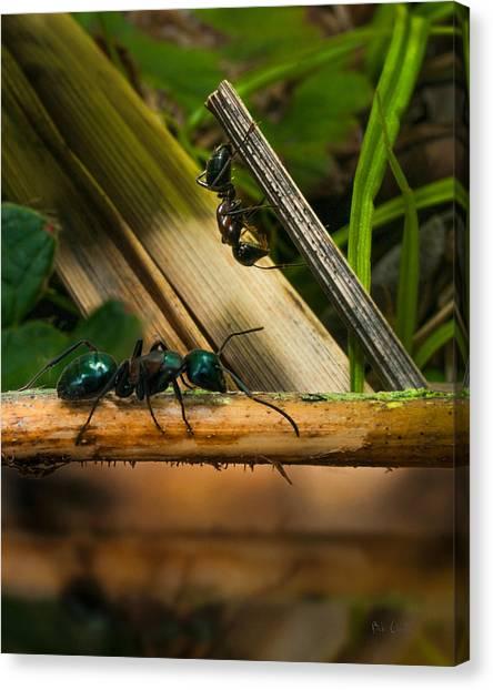 Ants Canvas Print - Ants Adventure 2 by Bob Orsillo