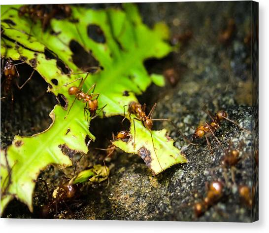 Ants At Work Canvas Print