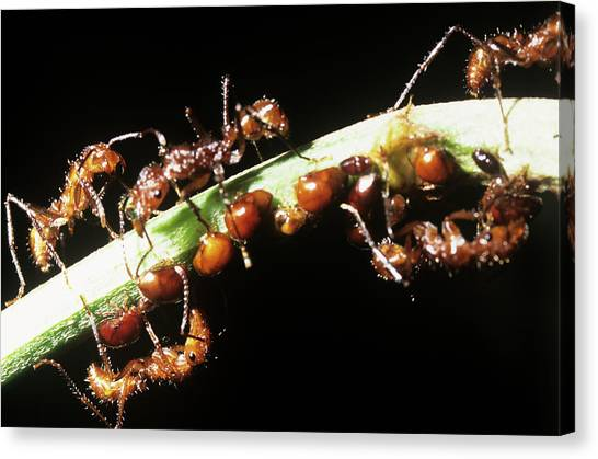 Honeydews Canvas Print - Ants Feeding On Leafhopper Honeydew by Dr Morley Read/science Photo Library