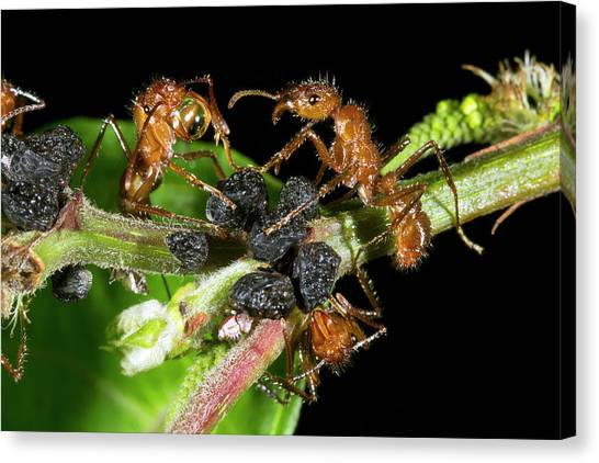 Honeydews Canvas Print - Ants Harvesting Leafhopper Honeydew by Dr Morley Read