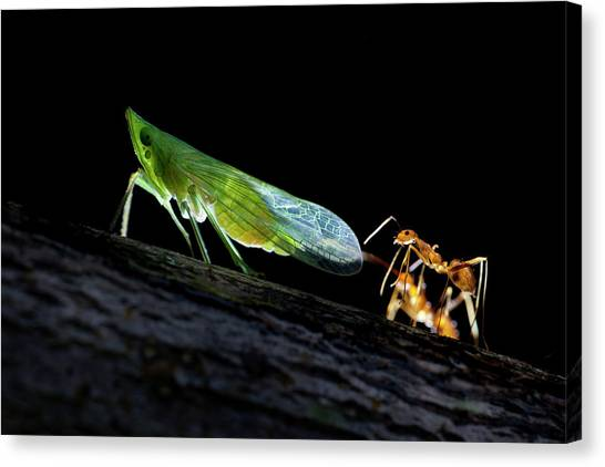 Honeydews Canvas Print - Ants Milking A Planthopper by Melvyn Yeo