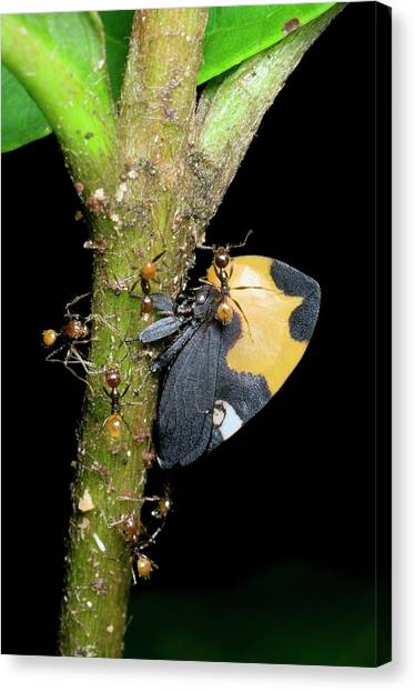 Honeydews Canvas Print - Ants Tending A Treehopper Bug On A Plant by Sinclair Stammers/science Photo Library