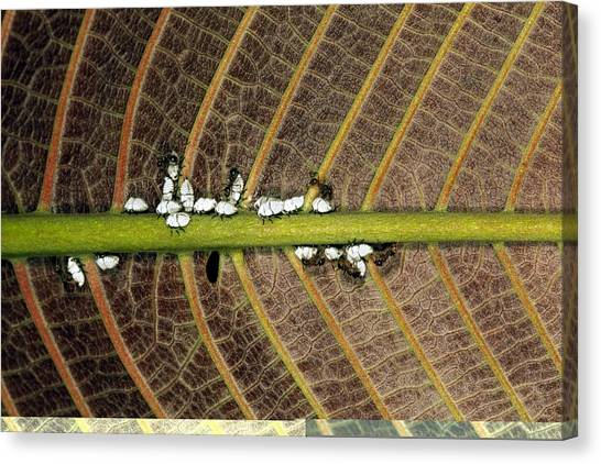 Honeydews Canvas Print - Ants Tending Aphids On A Plant Stem by Science Photo Library
