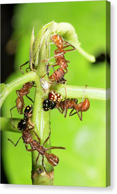 Honeydews Canvas Print - Ants Tending Treehoppers by Dr Morley Read
