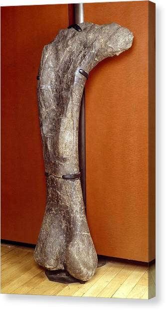 Brontosaurus Canvas Print - Apatosaurus Dinosaur, Fossil Thigh Bone by Science Photo Library