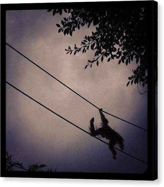 Apes Canvas Print - #ape #orangutang #swinging by Emma Chadwick