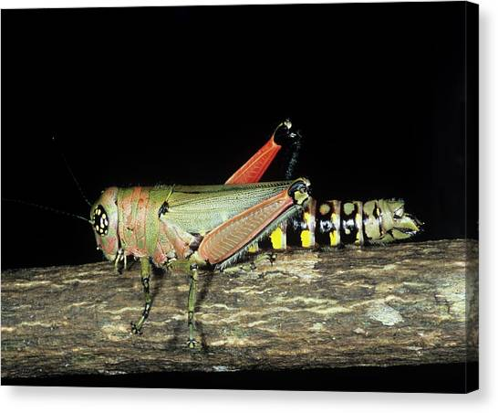 Grasshoppers Canvas Print - Aposematically Coloured Grasshopper by Sinclair Stammers/science Photo Library