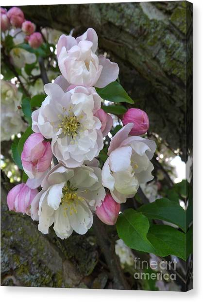Apple Blossom Bouquet Canvas Print