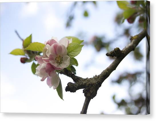 Apple Blossom Canvas Print by Maeve O Connell