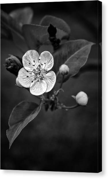 Apple Blossom On The Farm Canvas Print
