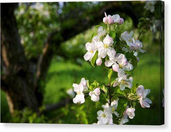 Apple Blossoms In The Orchard Canvas Print