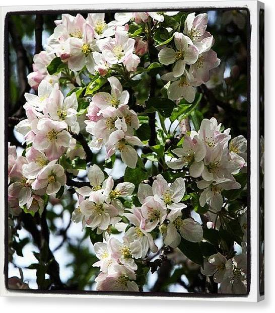Fruit Trees Canvas Print - Apple Blossoms by Julie Van der Wekken