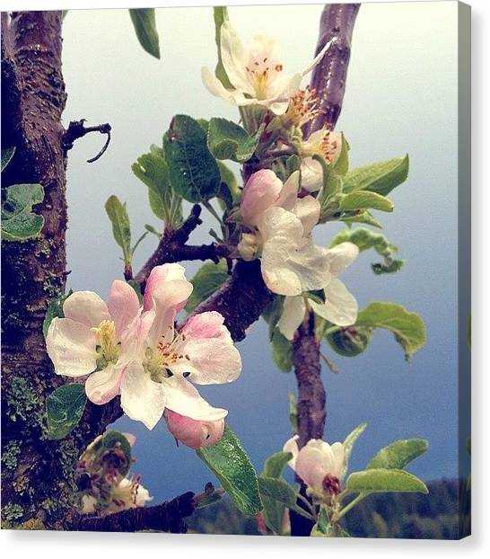 Flowers Canvas Print - Apple Blossoms Right Outside My Studio by Blenda Studio
