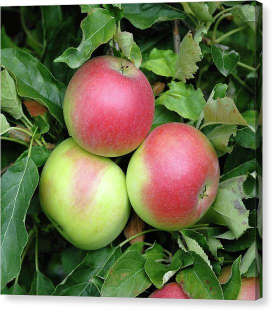 Apple (malus Domestica 'idared') Canvas Print by Bildagentur-online/mcphoto-muller/science Photo Library