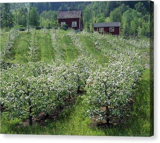 Apple Orchard Canvas Print by Science Photo Library