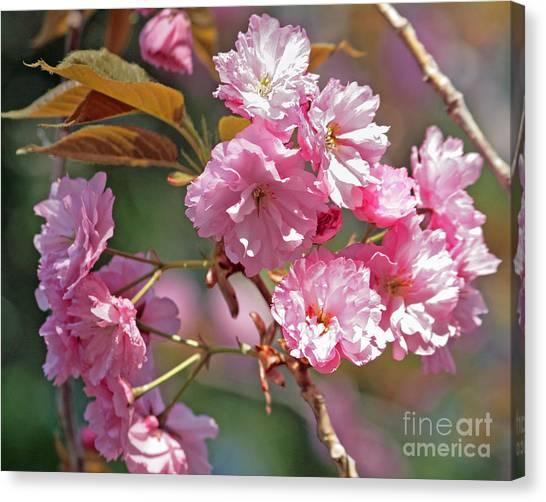 Apple Tree Blossoms Canvas Print by Kenny Bosak