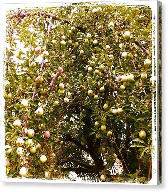 Orchard Canvas Print - Apple Tree by Kim Erlandsen
