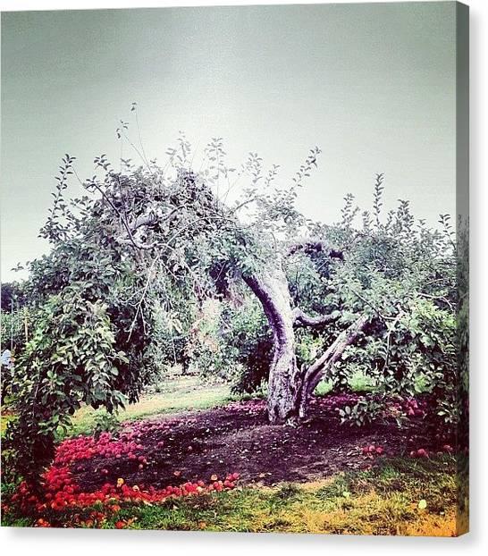Apple Tree Canvas Print - Apple Tree by Kurt