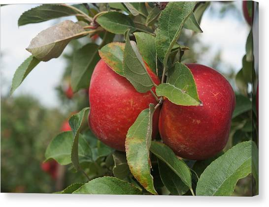 Apples On The Branch Canvas Print