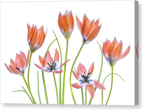 Tulips Canvas Print - Apricot Tulips by Mandy Disher