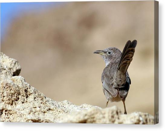 Negev Desert Canvas Print - Arabian Babbler On A Rock by Photostock-israel/science Photo Library