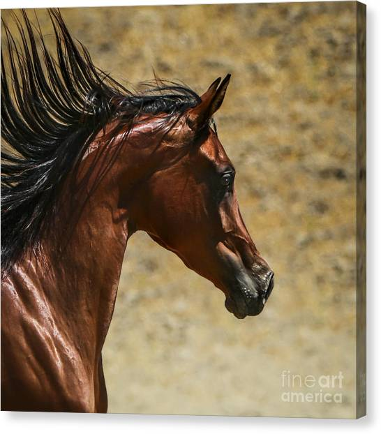 Thoroughbreds Canvas Print - Arabian Mare II by Holly Martin