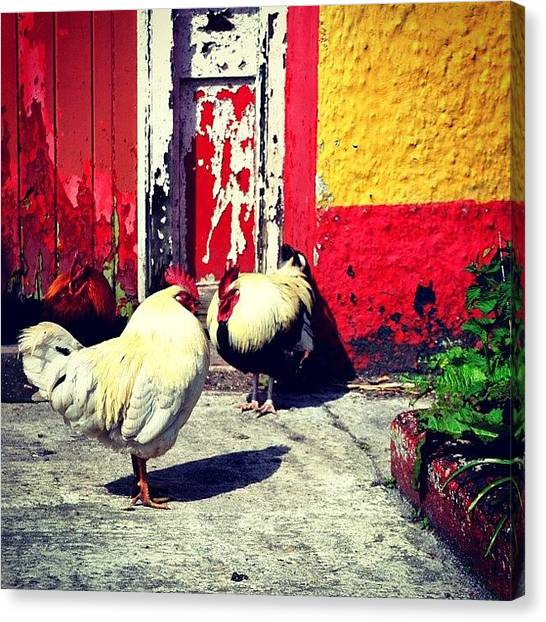 Roosters Canvas Print - Aran Islands Inhabitants by Carlos Macia Perez