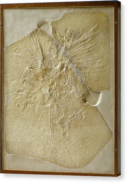 Archaeopteryx Fossil Canvas Print by Natural History Museum, London/science Photo Library