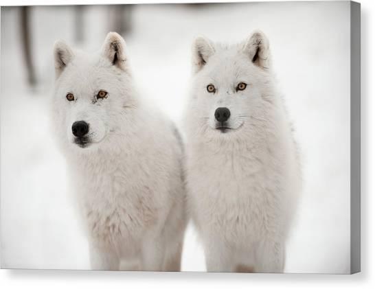 Arctic Wolf Canvas Print - Arctic Duet by Pndtphoto