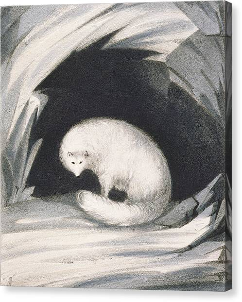 Camouflage Canvas Print - Arctic Fox, From Narrative Of A Second by Sir John Ross