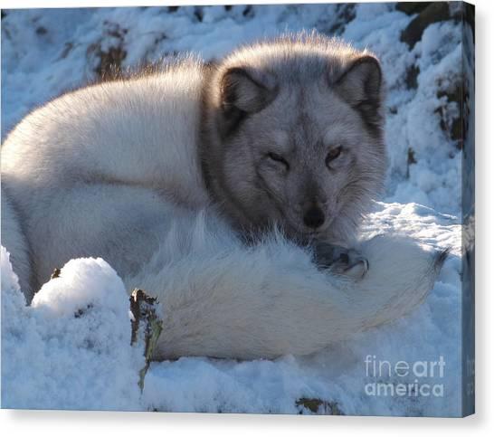 Arctic Fox - Winter Coat Canvas Print