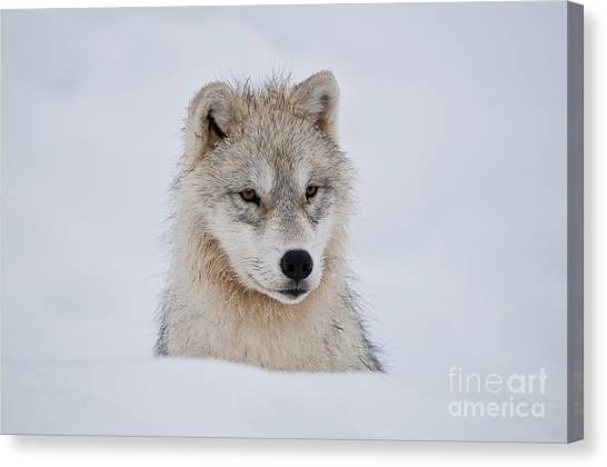 Arctic Pup In Snow Canvas Print
