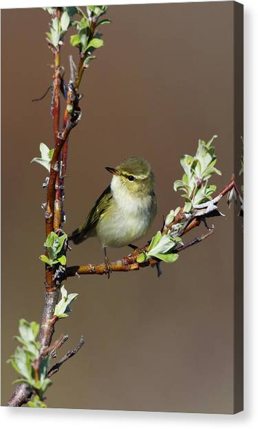 Warblers Canvas Print - Arctic Warbler by Ken Archer
