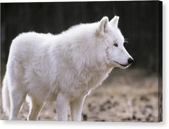 Arctic Wolf Canvas Print - Arctic Wolf by Animal Images