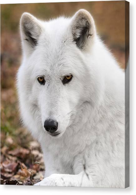 Arctic Wolf Canvas Print - Arctic Wolf by Eduard Moldoveanu