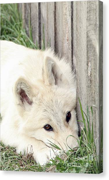Arctic Wolf Canvas Print by Kathy Eastmond