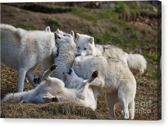Canvas Print - Arctic Wolf Pictures 1001 by World Wildlife Photography