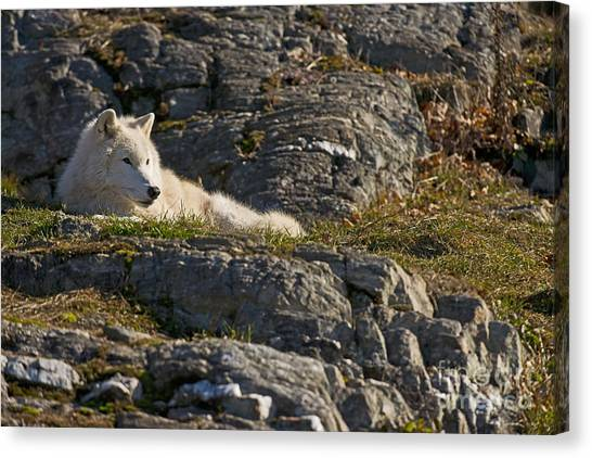 Canvas Print - Arctic Wolf Pictures 1013 by World Wildlife Photography