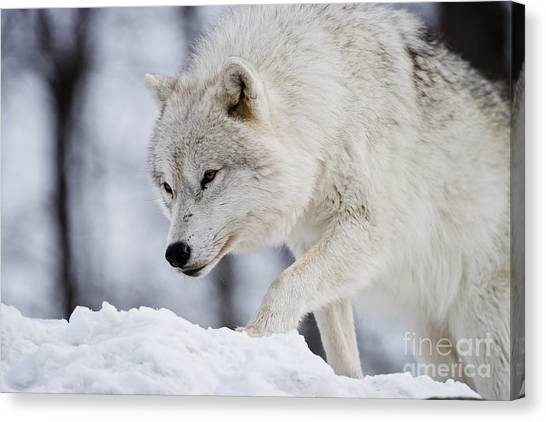 Canvas Print - Arctic Wolf Pictures 1054 by World Wildlife Photography