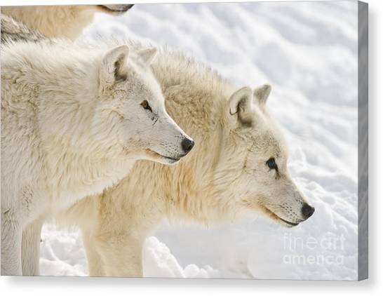 Canvas Print - Arctic Wolf Pictures 1081 by World Wildlife Photography