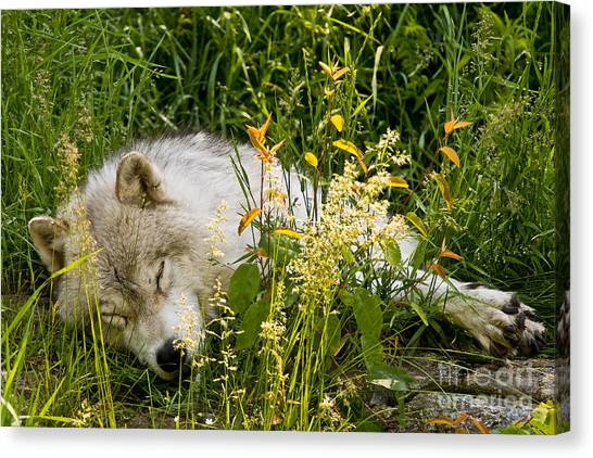 Canvas Print - Arctic Wolf Pictures 1105 by World Wildlife Photography