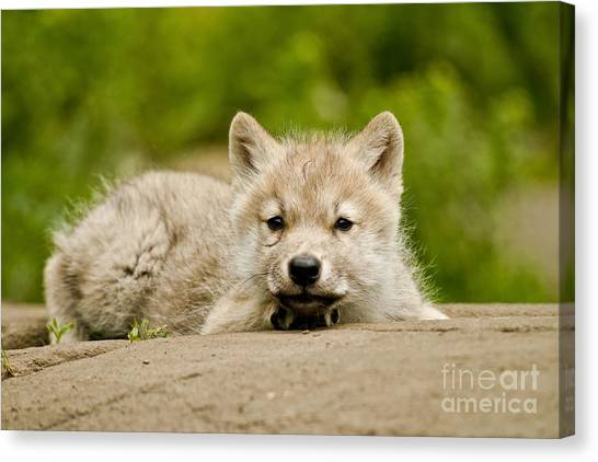 Canvas Print - Arctic Wolf Pictures 1118 by World Wildlife Photography