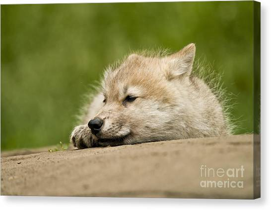 Canvas Print - Arctic Wolf Pictures 1121 by World Wildlife Photography