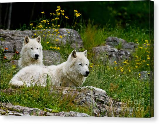 Canvas Print - Arctic Wolf Pictures 1128 by World Wildlife Photography